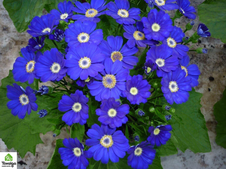 купить цинерарию к весенним праздникам, цветы в горшках